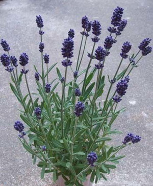 English Lavender (3).jpg