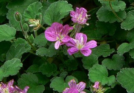 Erodium reichardii.jpg
