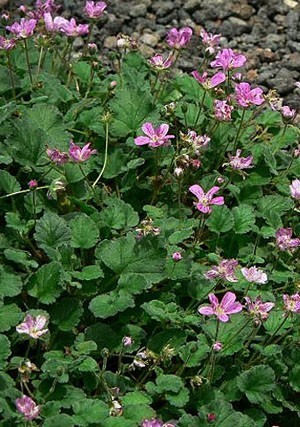 Erodium reichardii (2).jpg