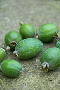 フェイジョアの育て方 庭植え|2種類栽培し雨よけで大収穫