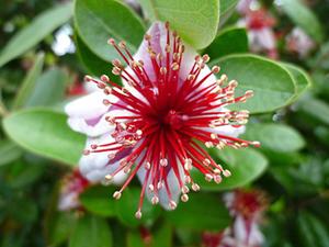 フェイジョアの育て方 鉢植え|冬期は室内の日当たりに置きます