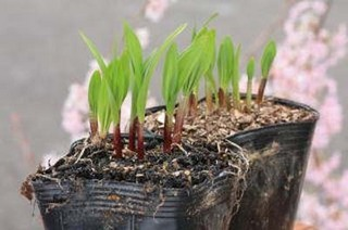 ニンニクのプランター栽培|病害虫知らず乾燥気味に育てるのがコツ