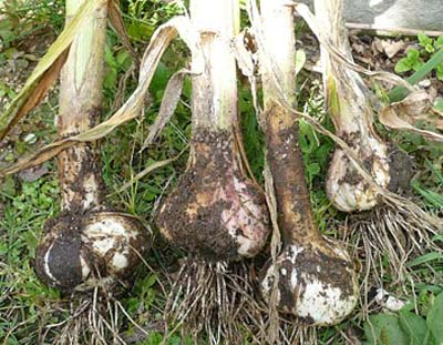 GarlicA.jpg
