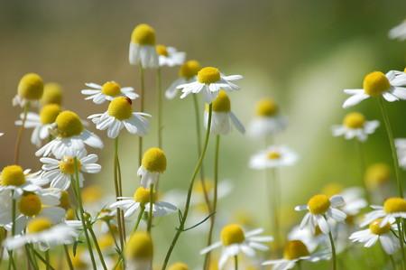 German chamomile.jpg