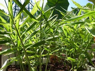 ショウガのプランター栽培|乾燥と水切れに注意すれば高収穫!