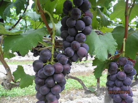 Grape (2).jpg