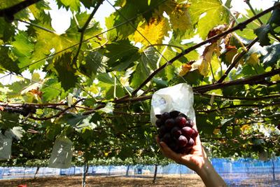 Grape (3).jpg