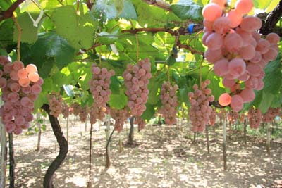 Grape (7).jpg