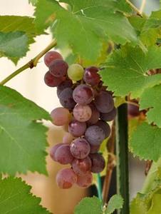 Grape (8).jpg