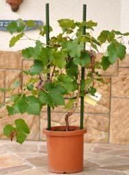 ブドウの育て方 鉢植え|1鉢に5房は美味しく収穫