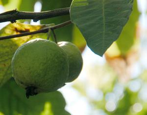 ストロベリーグアバ 庭植え栽培