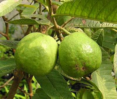 Guava20(2).jpg