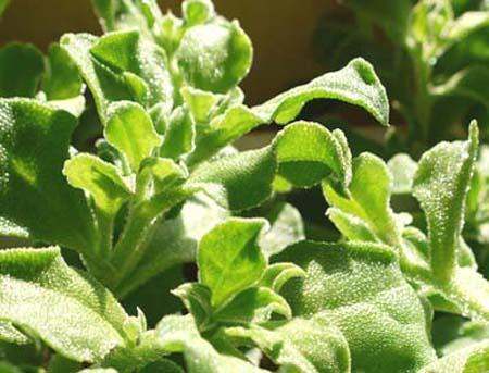 Ice plant (1).jpg