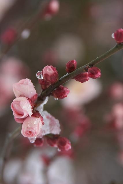 Japanese apricotB (4).jpg