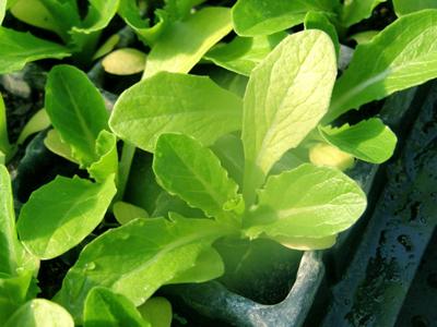 Lettuce1.jpg