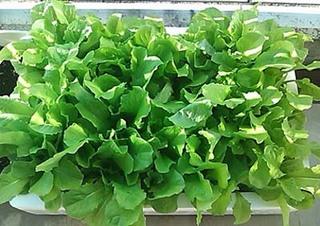 レタス、リーフレタスのプランター栽培|肥料と水を切らさず、長期収穫