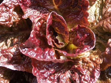 Lettuce (5).jpg