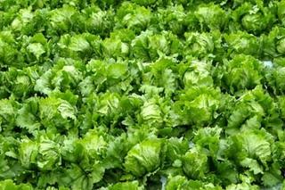 レタス、リーフレタスの育て方|植え替え栽培のコツがあります!