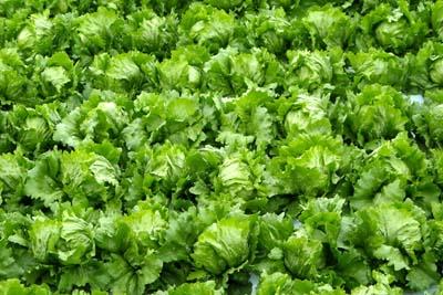 LettuceA.jpg
