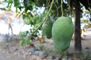 マンゴー タネからの栽培
