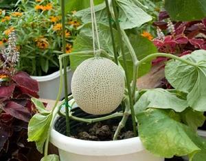夏野菜をプランター栽培しよう