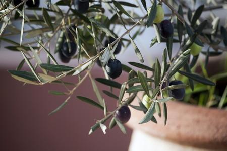 Olive (1).jpg