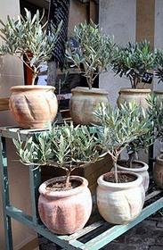 オリーブ 鉢植えの育て方