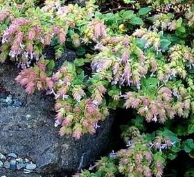 オレガノ 花の品種