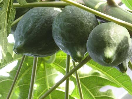 Papaya (1).jpg