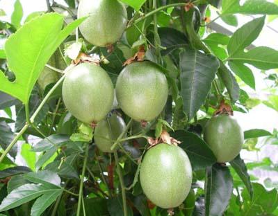 Passion fruit (2).jpg
