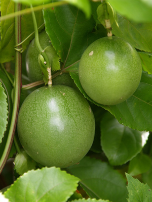 Passion fruit (5).jpg