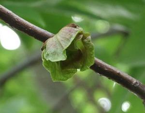 ポポーの育て方 鉢植え|強風が当たらないところで栽培