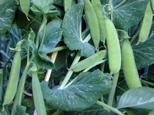 2月の野菜栽培|タネまきが始められます