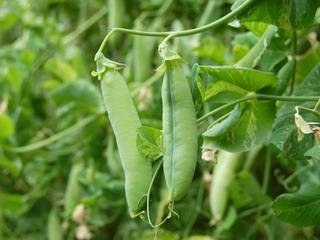 エンドウの育て方|栽培のコツはタネまきの時期と用土