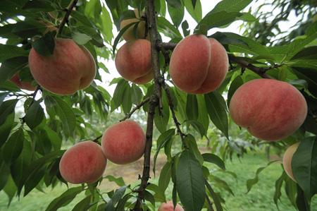 Peach (3).jpg