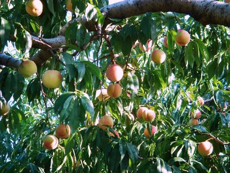 Peach (4).jpg
