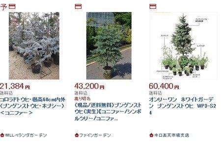 Picea pungens.jpg