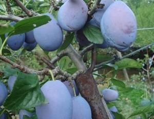 プルーンの育て方 庭植え|健康食品としても人気が高いです