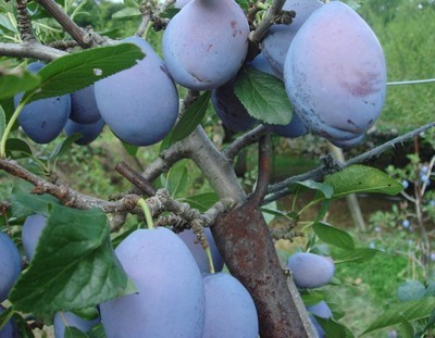 Prune (3).jpg