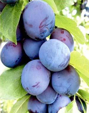 Prune (5).jpg