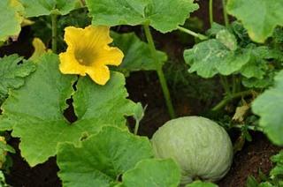 カボチャを狭い場所で栽培するには?
