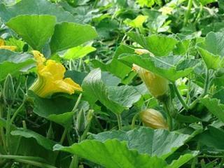 カボチャの育て方|スペースが狭くても栽培できます