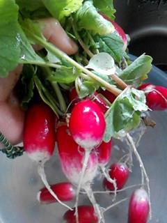 ラディッシュの育て方|栽培しやすく葉もおいしく1年中収穫!