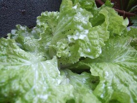 Red20Leaf20Lettuce-7646c.JPG