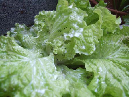 Red Leaf Lettuce.JPG