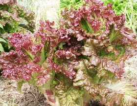 サニーレタスのプランター栽培|外側から葉をかきとり長期収穫