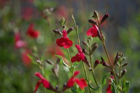 Salvia microphylla.jpg