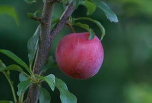 スモモ 品種と授粉樹