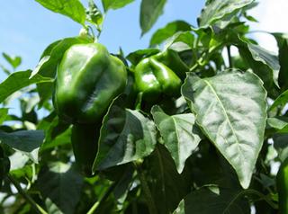 ピーマン、パプリカ、トウガラシのプランター栽培