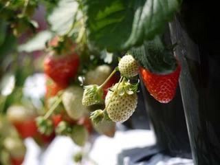 イチゴのプランター栽培|乾燥や過湿に注意しておいしく大収穫!